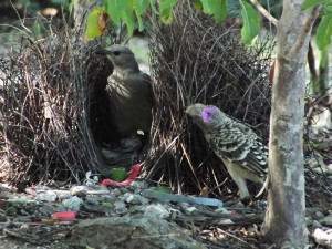 Greater Bowerbird
