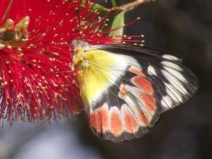 Scarlet Jezabel Butterfly