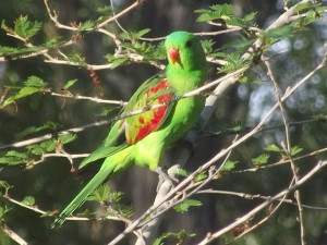 Redwing Parrot