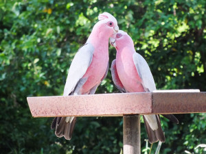 Galah (male and female)
